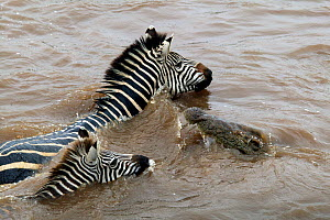 Nile Crocodile (Crocodylus niloticus) approaching Common Zebra (Equus burchellii) mother and foal as they swim across Mara river during migration, Masai Mara GR, Kenya  -  Philip Dalton