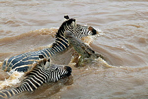 Nile Crocodile (Crocodylus niloticus) grabbing Common Zebra (Equus burchellii) as it swims across Mara river during migration, Masai Mara GR, Kenya  -  Philip Dalton