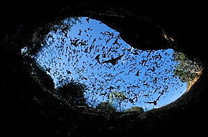Mexican free-tailed bats (Tadarida brasiliensis) flying from / to Bracken Cave and Echert James Bat Caves, Texas, USA - Philip Dalton
