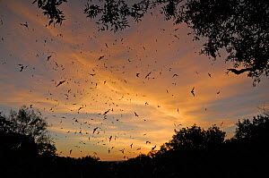 Mexican free-tailed bats (Tadarida brasiliensis) flying from Bracken Cave and Echert James Bat Caves, Texas, USA  -  Philip Dalton