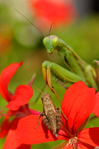 Eruopean praying mantis (Mantis religiosa) and brown cricket on flowers, Europe - Philip Dalton