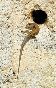 Common wall lizard {Podarcis muralis} at entrance to burrow in stone wall, Europe  -  Philip Dalton