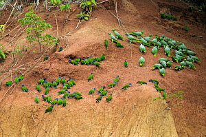 Flocks of Blue-headed Macaws (Primolius / Ara couloni) and Mealy amazon parrots (Amazona farinosa) feeding on minerals at a clay lick in rainforest, Peru  -  Philip Dalton
