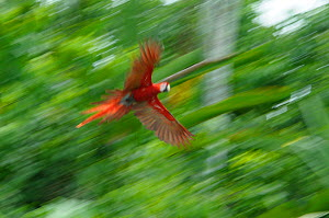 Scarlet macaw {Ara macao} flying to clay lick in rainforest, Peru  -  Philip Dalton