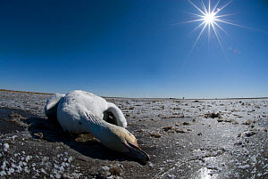 Snow goose {Chen caerulescens} died on migration, carcass on coastal flats, North America  -  Philip Dalton