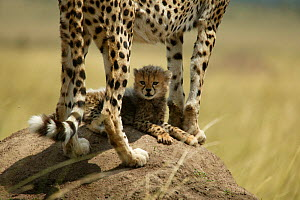 Cheetah (Acinonyx jubatus) female with cub lying in shade under her body, Masai Mara, Kenya - Philip Dalton