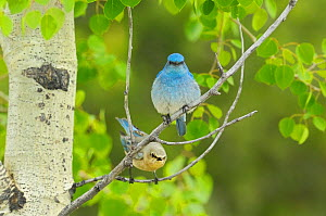 Mountain bluebird (Sialia currucoides) pair, Grand Teton National Park, Wyoming, USA, May  -  George Sanker