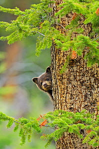Black bear (Ursus americanus) cub, brown phase, looking out from behind tree trunk, Yellowstone National Park, Wyoming, USA, May  -  George Sanker