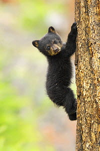 Young Black bear (Ursus americanus) cub climbing mature fir tree, Yellowstone National Park, Wyoming, USA, May - George Sanker