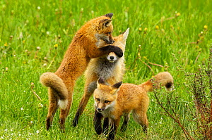 Two Red fox (Vulpes vulpes) cubs playing with mother, Grand Teton National Park, Wyoming, USA, June  -  George Sanker
