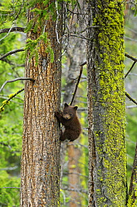 Black bear (Ursus americanus) cub, cinnamon phase, climbing fir tree, Yellowstone National Park, Wyoming, USA, June - George Sanker