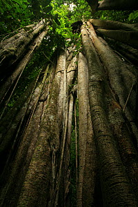 Aerial roots of a Strangler fig (Ficus sp) in lowland tropical rainforest, Coqui, Choc� Department, Pacific Coast, Colombia  -  Alan Watson