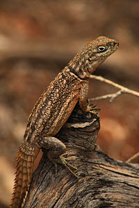 Madagascan spiny-tailed lizard (Oplurus cuvieri) in spiny forest, Reniala Reserve, SW Madagascar  -  Alan Watson