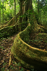Buttress roots of tree (Tetrameles nudiflora) in tropical rainforest, Khao Yai National Park, Nakhon Ratchasima Province, Thailand - Alan Watson