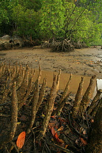 Pneumatophores (aerial roots) of Mangroves (Sonneratia caseolaris) with stilt-rooted mangroves (Rhizophora stylosa) behind, at low tide, Phang-Nga Bay, Ao Phang-Nga National Park, Phang-Nga Province,... - Alan Watson