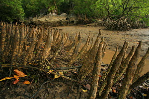 Pneumatophores of Mangroves (Sonneratia caseolaris) with stilt-rooted mangroves (Rhizophora stylosa) behind, at low tide, Phang-Nga Bay, Ao Phang-Nga National Park, Phang-Nga Province, Thailand, Octob... - Alan Watson