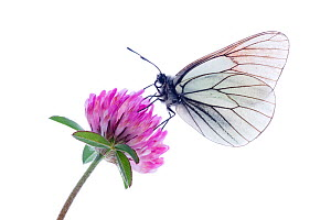 Black veined white butterfly (Aporia crataegi) on red clover (Trifolium pratense) Fliess, Naturpark Kaunergrat, Tirol, Austria, July 2008  WWE BOOK, WWE INDOOR, WWE OUTDOOR EXHIBITION. Wild Wonders ki...  -  Wild Wonders of Europe / Benvie