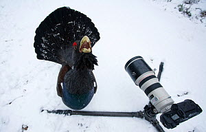 Male Capercaillie (Tetrao urogallus) displaying in front of camera in a wintry pine forest, Cairngorms National Park, Scotland, February 2009 WWE BOOK, WWE OUTDOOR EXHIBITION.  -  Wild Wonders of Europe / Cairns