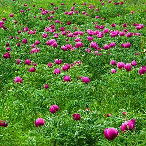 Common peony (Paeonia officinalis) flowers in a meadow, Valle de Canatra, Sibillini NP, Italy, May 2009 WWE BOOK  -  Wild Wonders of Europe / Müller