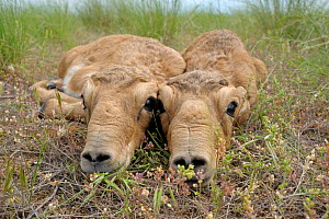 Two newborn Saiga antelope (Saiga tatarica) calves lying on ground, Cherniye Zemli (Black Earth) Nature Reserve, Kalmykia, Russia, May 2009  WWE BOOK.  -  Wild Wonders of Europe / Shpilen