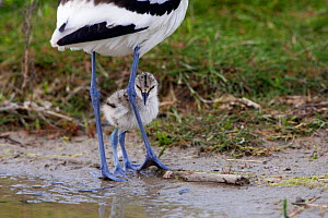 Avocet (Recurvirostra avosetta) chick standing behind parents legs, Texel, Netherlands, May 2009  WWE BOOK Wild Wonders kids book.  -  Wild Wonders of Europe / Peltomä