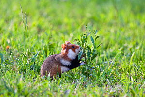 Common hamster (Cricetus cricetus) feeding on plant, Slovakia, Europe, June 2009 WWE BOOK  -  Wild Wonders of Europe / Wothe