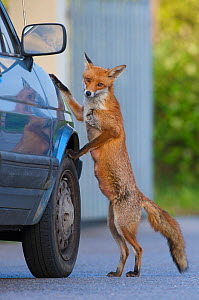Urban fox (Vulpes vulpes) standing up against car, London, UK, May  WWE BOOK. WWE INDOOR EXHIBITION  -  Wild  Wonders of Europe / Geslin