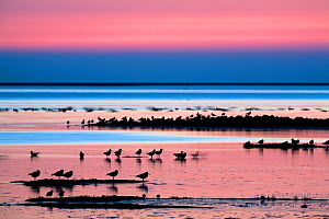 Waders on sea shore at sunset, Hallig Hooge, Germany, April 2009 WWE BOOK  -  Wild Wonders of Europe / Novák