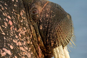 Walrus (Obdobenus rosmarus) close-up of head, Prins Karls Forland, Svalbard, Norway, June 2008 WWE BOOK - Wild Wonders of Europe / de la Lez