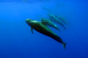 Four Short finned pilot whales (Globicephala macrorhynchus) in a line, Pico, Azores, Portugal, June 2009 WWE BOOK Wild Wonders kids book. - Wild Wonders of Europe / Lundgren