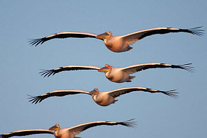 Four White pelicans (Pelecanus onolocratus) in flight, Danube Delta, Romania, May 2009 WWE BOOK  -  Wild Wonders of Europe / Presti