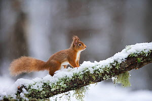 Red squirrel (Sciurus vulgaris) on branch in snow, Glenfeshie, Cairngorms National Park, Scotland, February 2009 WWE BOOK  -  Wild Wonders of Europe / Cairns