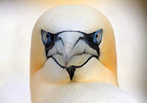 Gannet (Morus bassanus) head portrait, Saltee Islands, Ireland, June 2009 WWE BOOK - Wild Wonders of Europe / Hermansen