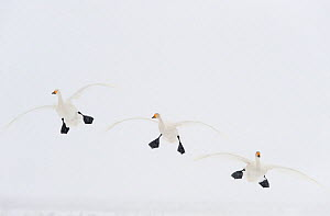 Three Whooper swans (Cygnus cygnus) in flight, Lake Tysslingen, Sweden, March 2009 WWE BOOK. WWE INDOOR EXHIBITION  -  Wild Wonders of Europe / Unterthiner