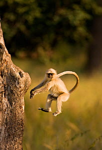Southern plains grey / Hanuman langur {Semnopithecus dussumieri} jumping towards tree trunk, Bandhavgarh National Park, Madya Pradesh, India - Matthew Maran