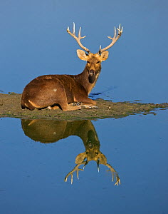 Portrait of Barasingha / Swamp deer (Cervus duvauceli) stag, lying at water's edge, with reflections, Kaziranga National Park, Assam, India  -  Matthew Maran