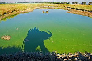 Shadow of trained Indian elephant (Elephas maximus) carrying wildlife watchers, in green pool of water, with Barasingha / Swamp deer (Cervus duvaucel) Kaziranga National Park, Assam, India, November 2... - Matthew Maran