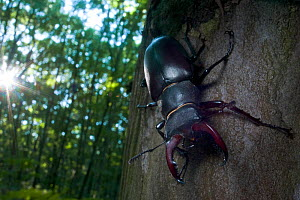 Male Stag beetle {Lucanus cervus} tree trunk, Codrii Reserve, Central Moldova, June  WWE OUTDOOR EXHIBITION. NOT AVAILABLE FOR GREETING CARDS OR CALENDARS  -  Wild  Wonders of Europe / Geslin