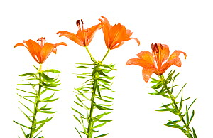 Orange / Fire lily (Lilium bulbiferum) flowers, Fliess, Naturpark Kaunergrat, Tirol, Austria, July 2008, digital composite WWE OUTDOOR EXHIBITION. (This image may be licensed either as rights managed...  -  Wild Wonders of Europe / Benvie