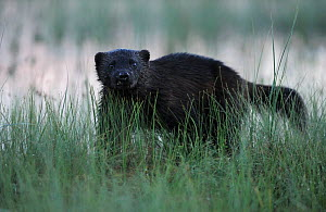 Eurasian wolverine (Gulo gulo) in long grass, Kuhmo, Finland, July 2008. BOOK & WWE OUTDOOR EXHIBITION. - Wild Wonders of Europe / Widstra