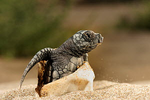 Loggerhead turtle (Caretta caretta) hatching, Dalyan Delta, Turkey, July 2009 - Wild Wonders of Europe / Zankl