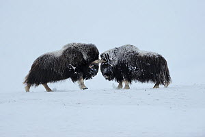 Two Muskox (Ovibos moschatus) face to face, Dovrefjell National Park, Norway, February 2009  -  Wild Wonders of Europe / Munier