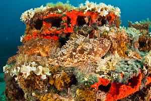 Two Scorpionfish (Scorpaena porcus) lying on artificial reef, Larvotto Marine Reserve, Monaco, Mediterranean Sea, July 2009. BOOK & WWE OUTDOOR EXHIBITION. Wild Wonders kids book. - Wild Wonders of Europe / Banfi
