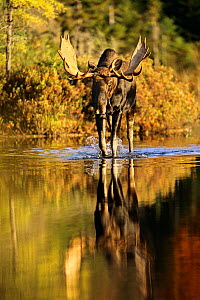 Moose (Alces alces) bull walking through shallow water, Baxter State Park, Maine, USA  -  George Sanker