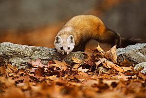 American pine marten (Martes americana) stalking prey in leaves, Baxter State Park, Maine, New England, USA, Autumn  -  George Sanker
