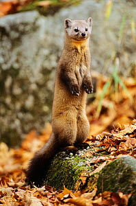 American pine marten (Martes americana) standing on a lichen covered rock, Baxter State Park, Maine, New England, USA, Autumn  -  George Sanker