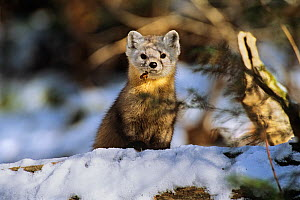 American pine marten (Martes americana) in snow, Baxter State Park, Maine, New England, USA, Autumn  -  George Sanker