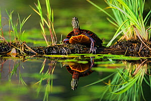 Eastern painted turtle {Chrysemys picta picta) on the bank of a beaver pond, Walpole, New Hampshire, New England, USA, Spring  -  George Sanker