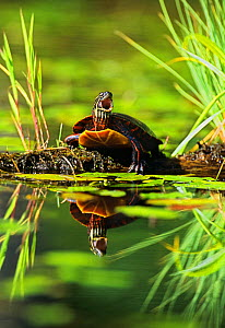 Eastern painted turtle {Chrysemys picta picta} yawning, Walpole, New Hampshire, New England, USA, Spring  -  George Sanker