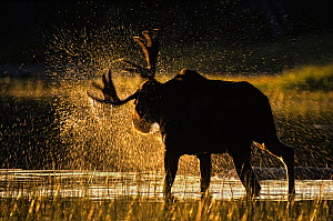 Moose (Alces alces) bull shaking off water at sunset, Great North Woods, Baxter State Park, Maine, New England, USA, Autumn - George Sanker